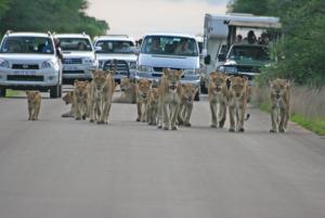 Lion road block_300x2000q75