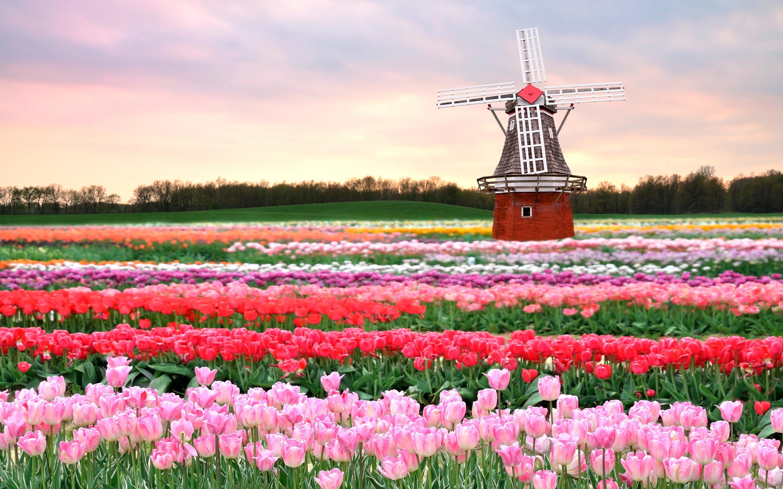 Tulips-field-Holland