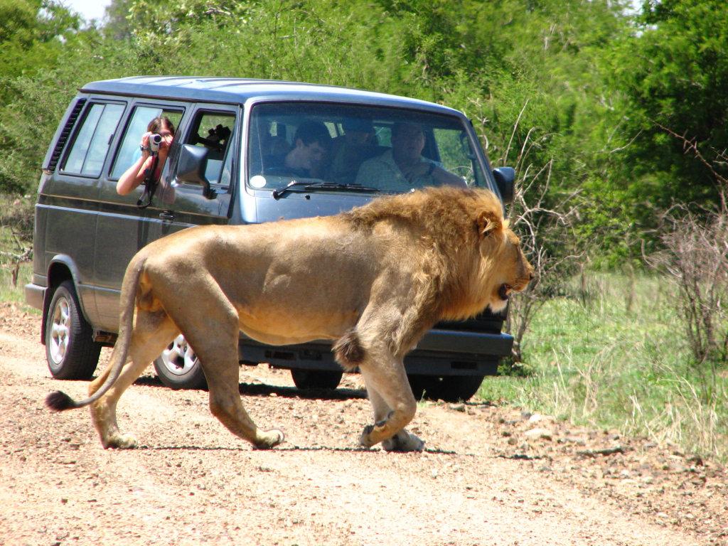 Lion-photographer-knp