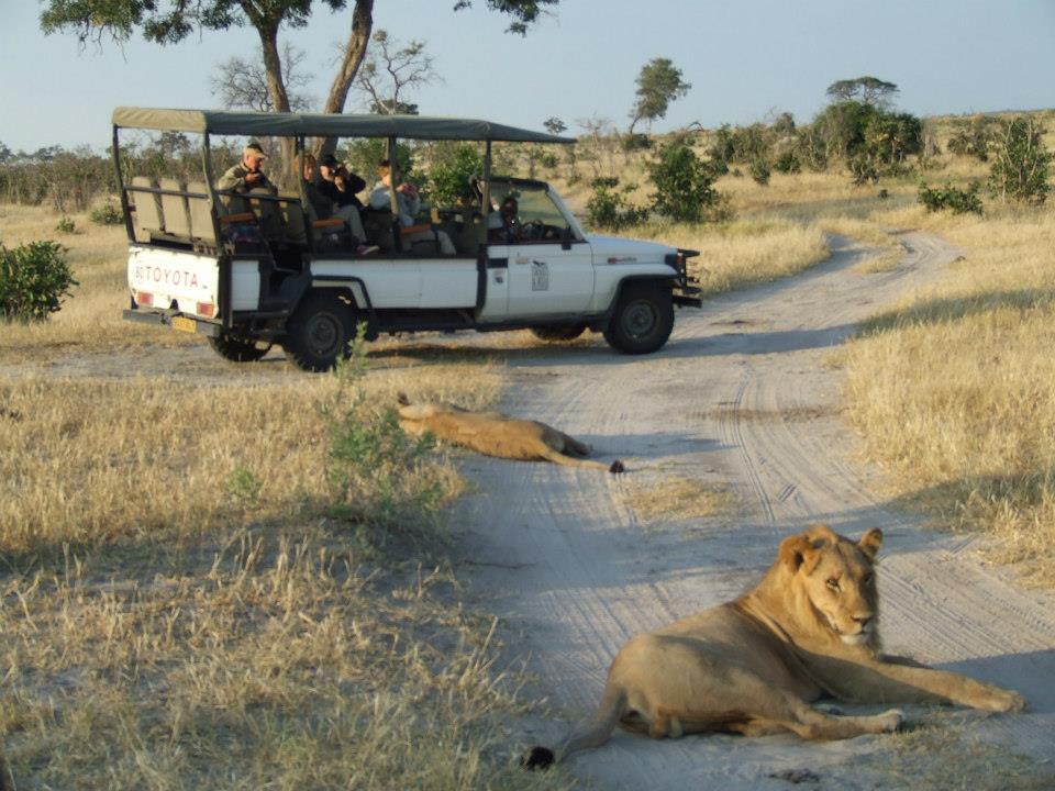 Lions in Savute